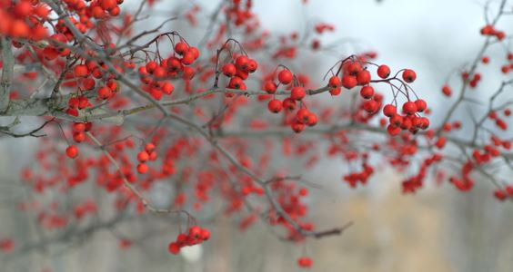 Berries on a Branch